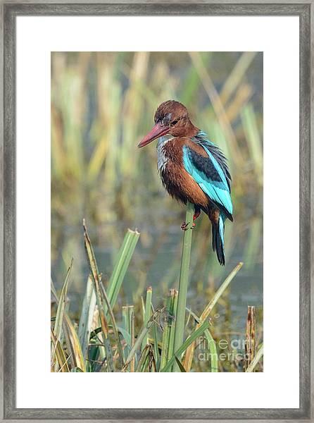 White-throated Kingfisher 13 Framed Print