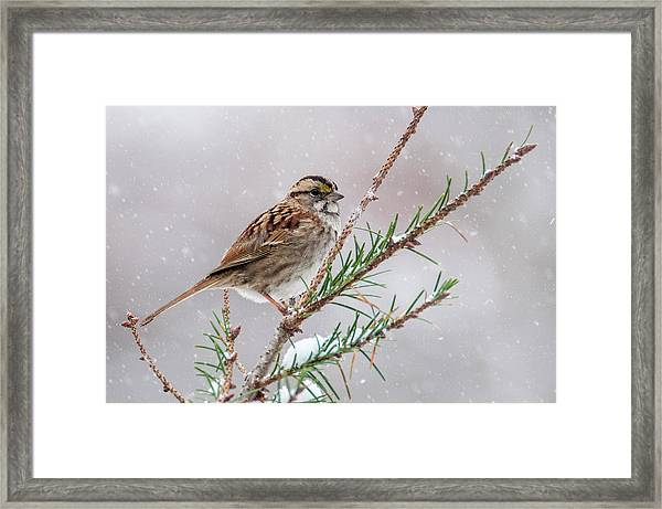 White Throated Sparrow Framed Print