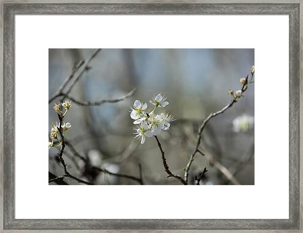 White Tree Bud Framed Print