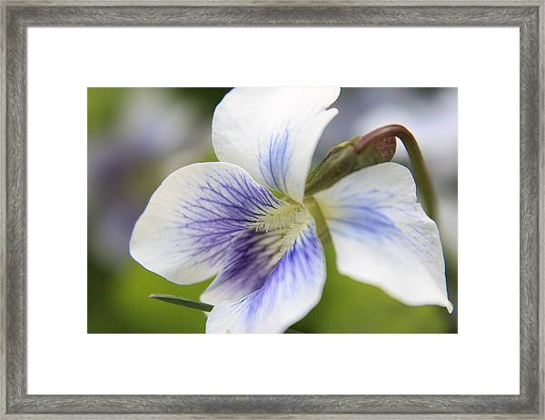 White Violet Framed Print