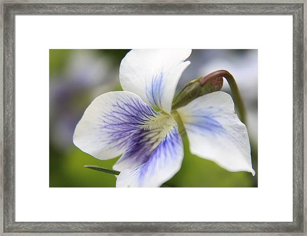 White Violet Framed Print