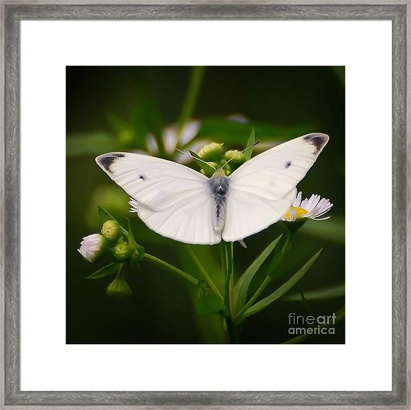 White Wings Of Wonder Framed Print