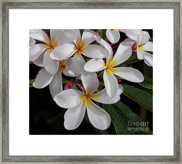 White/yellow Plumerias In Bloom Framed Print