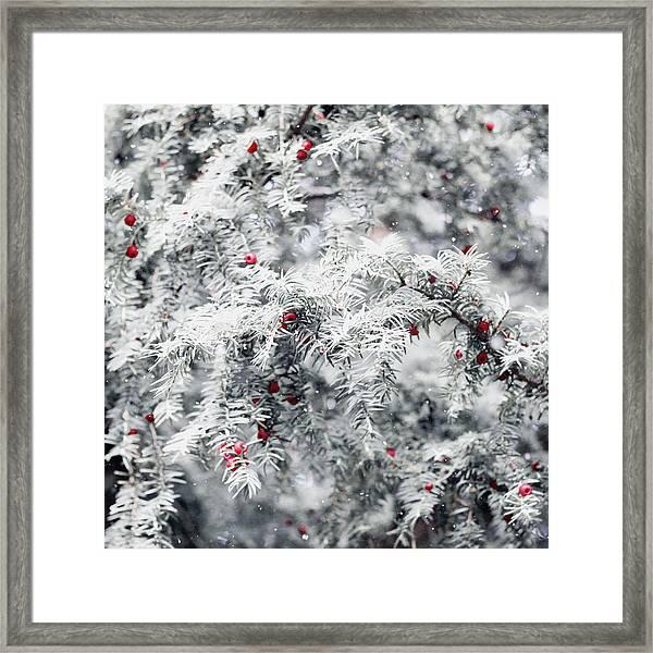 White Yew Framed Print