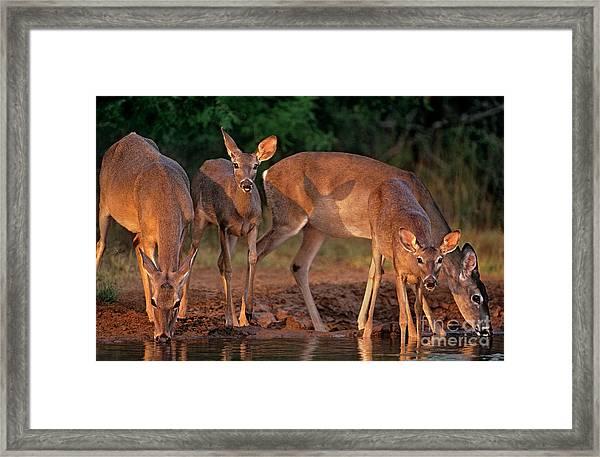Whitetail Deer At Waterhole Texas Framed Print