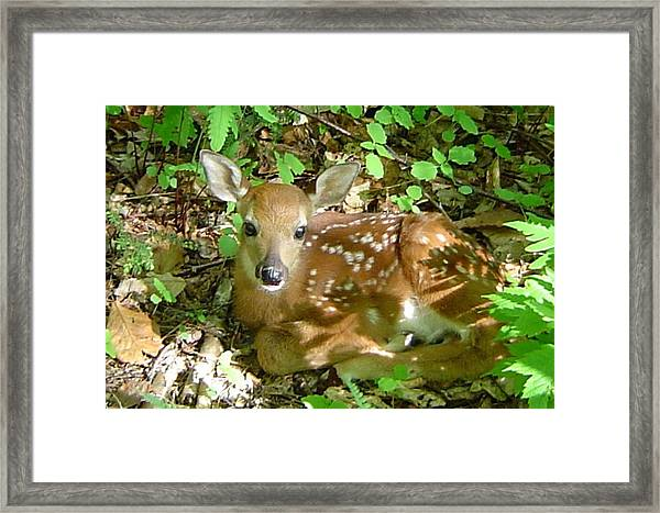 Whitetail Fawn II Framed Print