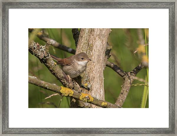 Whitethroat Framed Print