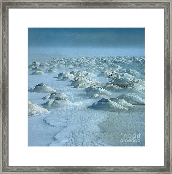 Whooper Swans In Snow Framed Print