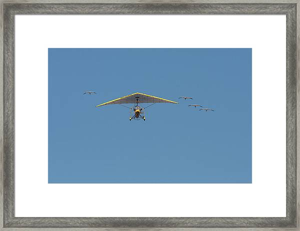 Whooping Cranes And Operation Migration Ultralight Framed Print