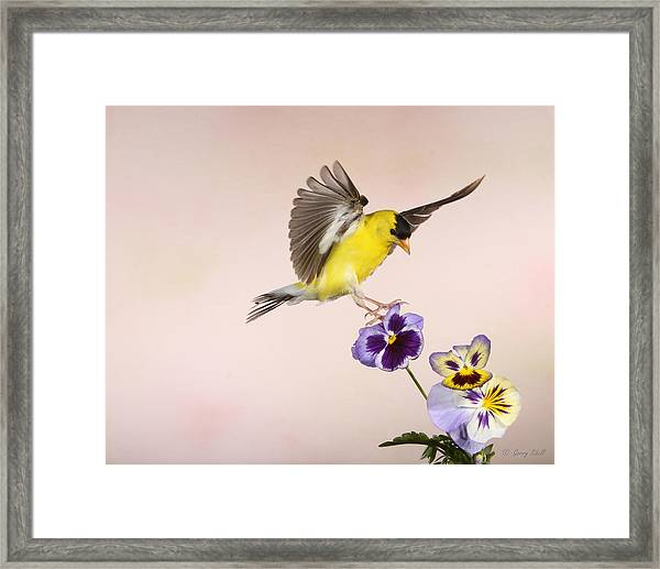 Who's The Pansy Now Framed Print