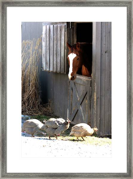 Why Did The Guinea Hen Cross The Road Framed Print