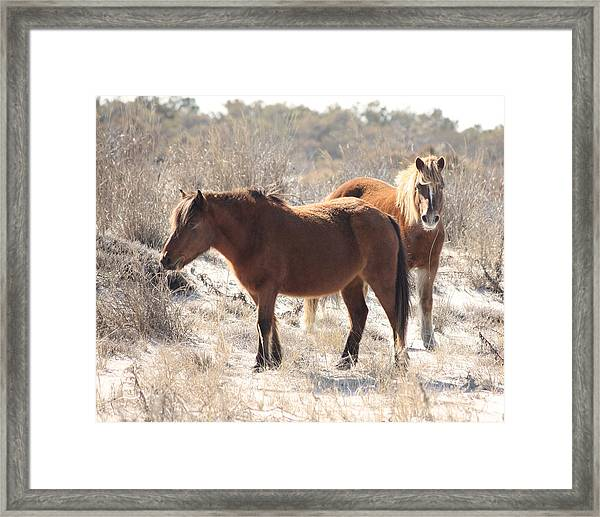 Wild Assateague Ponies 1 Framed Print