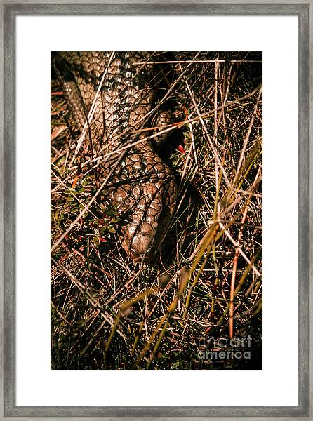 Wild Australian Blue Tongue Lizard Framed Print