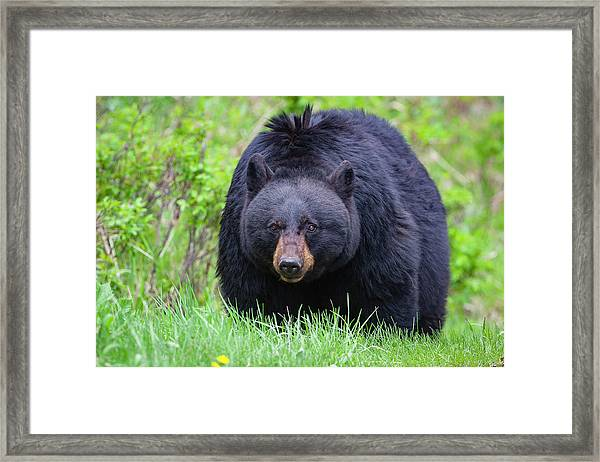 Wild Black Bear Framed Print