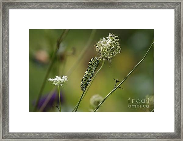 Wild Carrot Feast Framed Print