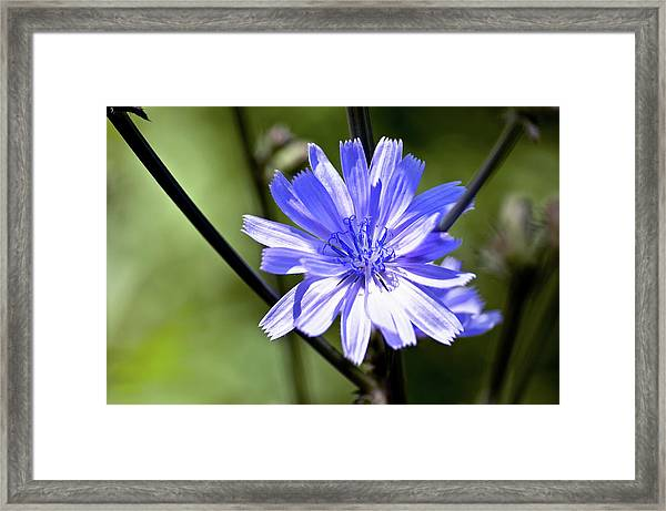 Wild Chicory Framed Print by Ross Powell
