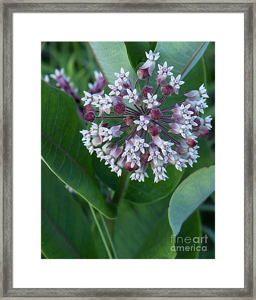 Wild Flower Star Burst Framed Print