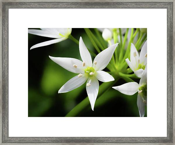 Framed Print featuring the photograph Wild Garlic Flower by Nick Bywater
