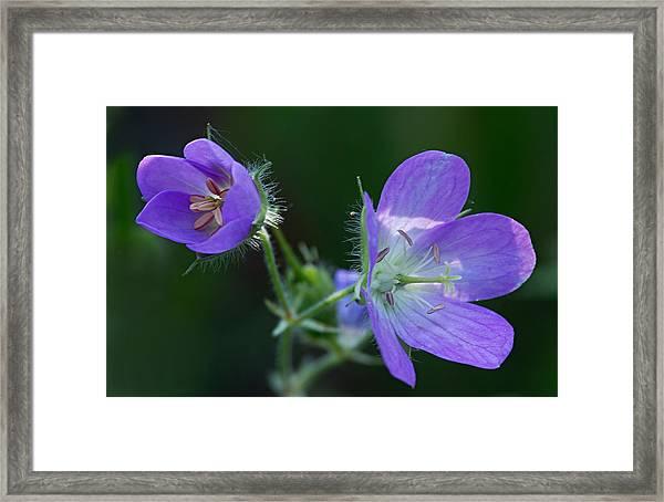 Wild Geraniums Framed Print