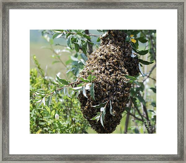 Wild Honey Bees Framed Print