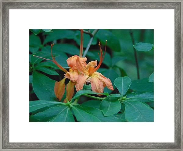Wild Honeysuckle Framed Print