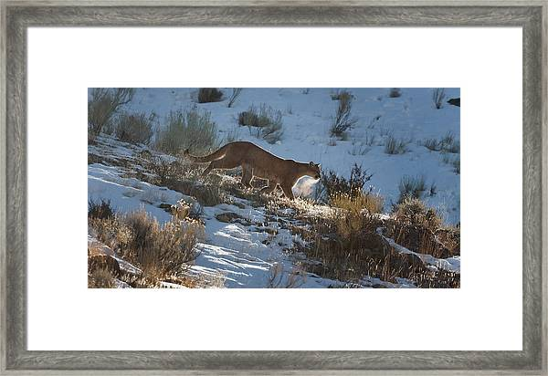 Wild Mountain Lion Running At First Light Framed Print