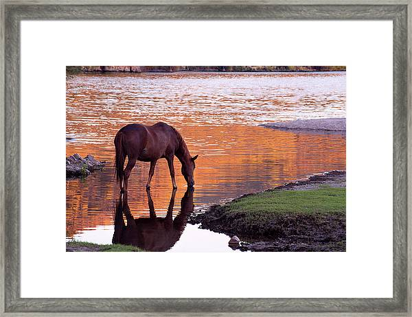 Wild Salt River Horse At Saguaro Lake Framed Print