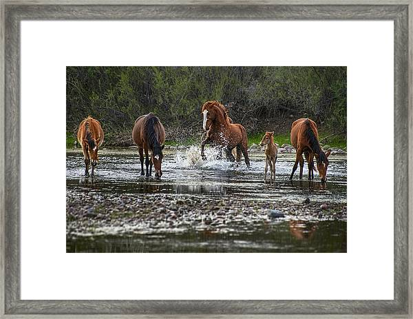 Wild Stallion In Salt River Framed Print