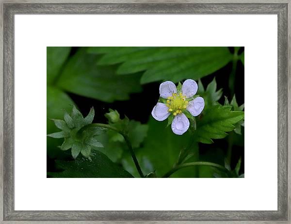 Wild Strawberry Blossom And Raindriops Framed Print