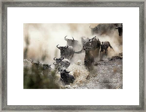 Wildebeest Herd Crossing The Mara River Framed Print