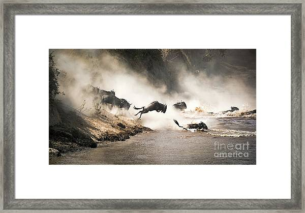 Wildebeest Leap Of Faith Into The Mara River Framed Print