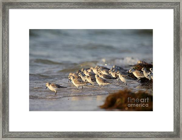 Willets On The Shore. Framed Print by Rick Mann