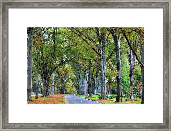 Willow Oak Trees Framed Print