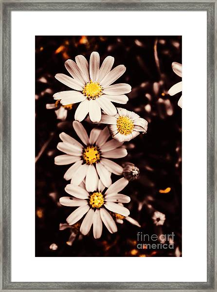 Wilting And Blooming Floral Daisies Framed Print