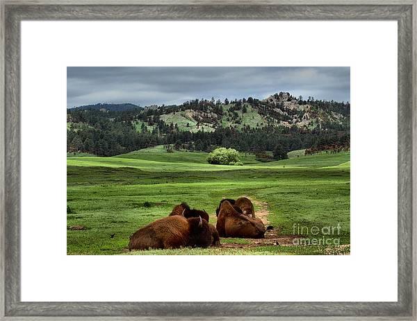 Wind Cave Bison Framed Print