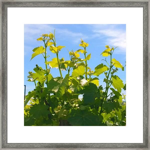 #wine #vines Reaching For The Sky :-) Framed Print