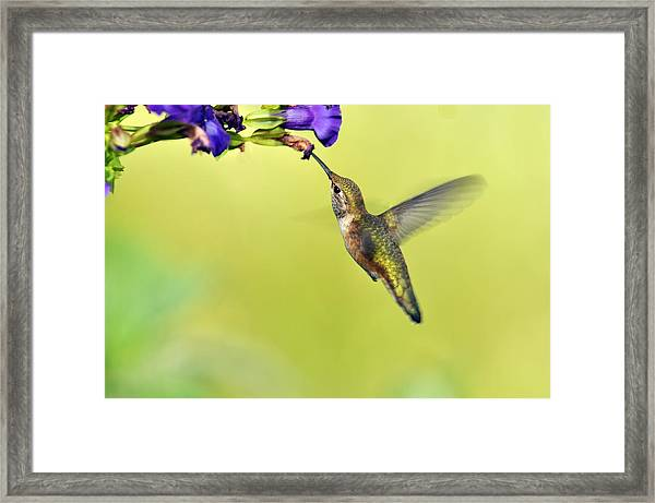 Winged Beauty A Hummingbird Framed Print