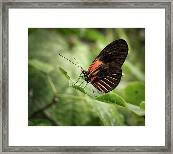 Wings Of The Tropics Butterfly Framed Print