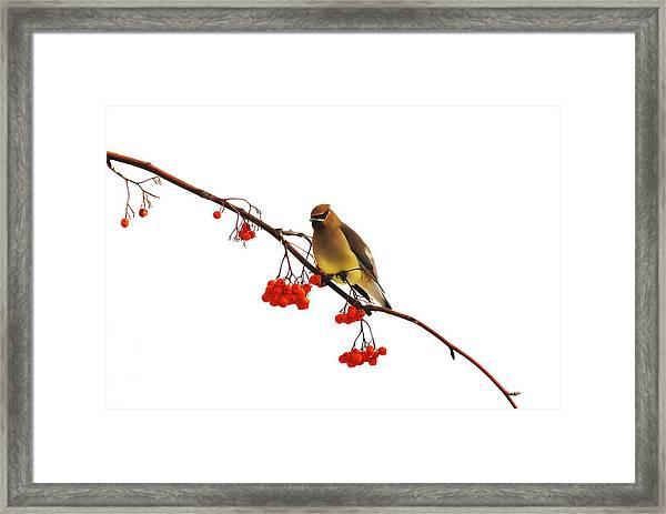 Winter Birds - Waxwing  Framed Print