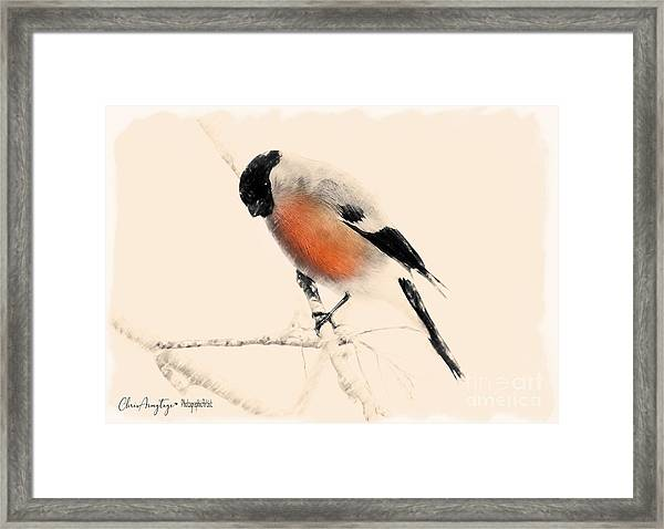Winter Bullfinch Framed Print