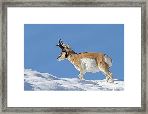Winter Pronghorn Buck Framed Print