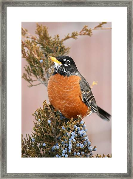 Winter Robin Framed Print