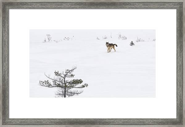Winter Wolf Framed Print