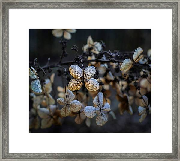 Winterized Hydrangea Framed Print