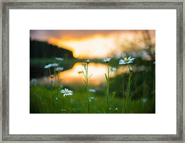 Wisconsin Daisies At Sunset Framed Print