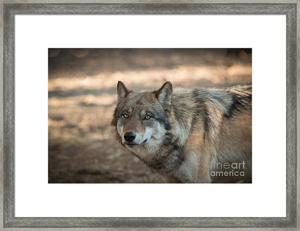 Wise Wolf Framed Print