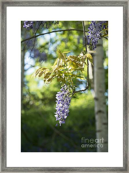 Wisteria Floribunda In Sunlight Framed Print
