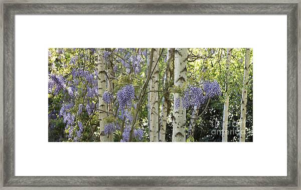 Wisteria Floribunda Panoramic Framed Print