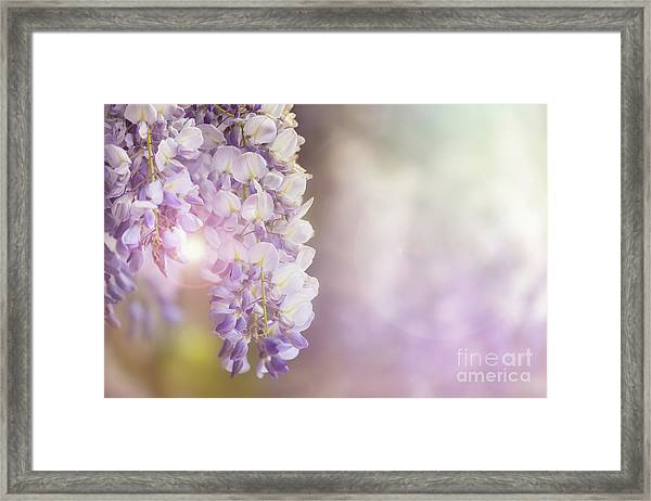 Wisteria Flowers In Sunlight Framed Print