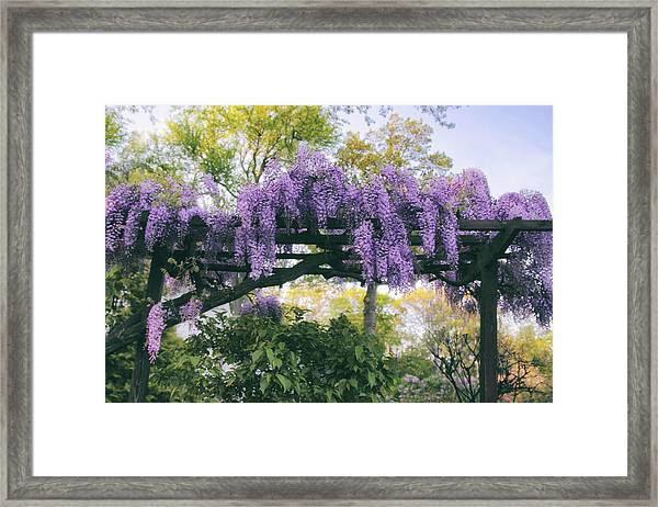 Wisteria Splendor Framed Print